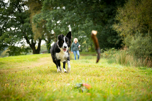 Black and white Collie playing fetch with stick