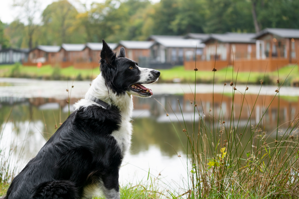 Black and white Collie in the grounds of Lakeview Manor